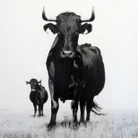 Kühe, die auf Menschen starren