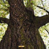 Vom Altern der Bäume in der Stadt